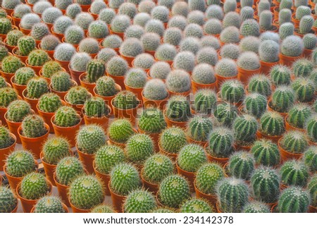 Small cactus,Thailand - stock photo