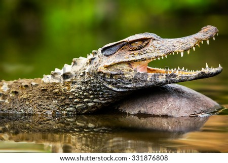 Small Caiman Crocodile Absorbing Heat Shot In The Wild In Amazonian Basin In Ecuador - stock photo