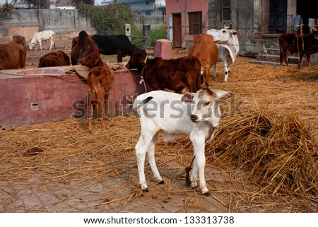 Small calf and other animals in a rustic barn in the indian village - stock photo