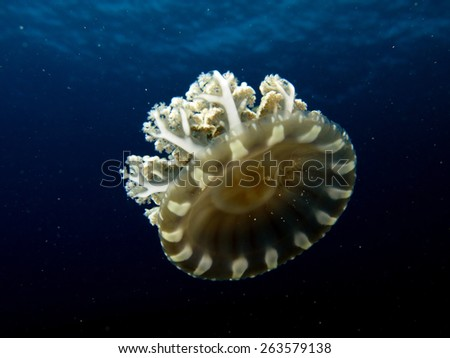 Small Cassiopea andromeda jellyfish in blue water - stock photo