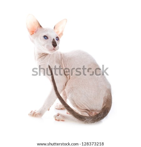 small cat peterbald isolated on white background - stock photo