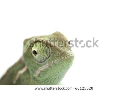 Small chameleon posing in light tent, macro focused on eyes - stock photo
