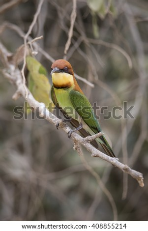 Small Chestnut Green Bee-Eater Islated