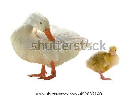 small chicken duck on a white background - stock photo