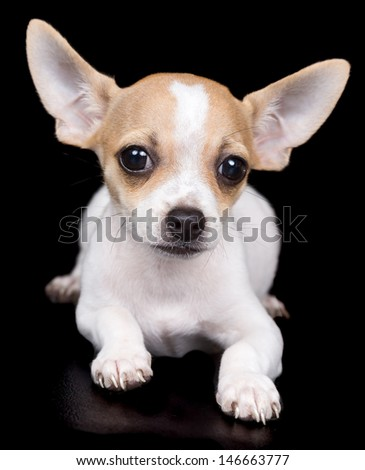 Small chihuahua dog laying on a black background