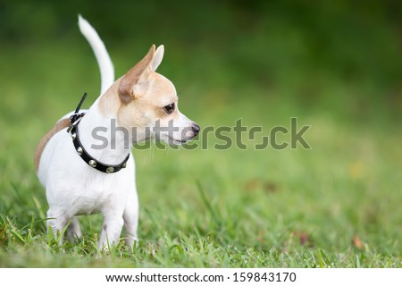 Small chihuahua dog standing on a green grass park with a shallow depth of field - stock photo