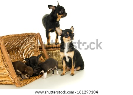 Small chihuahua puppies, mother and father - stock photo