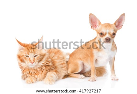 Small chihuahua puppy and maine coon cat together. isolated on white background