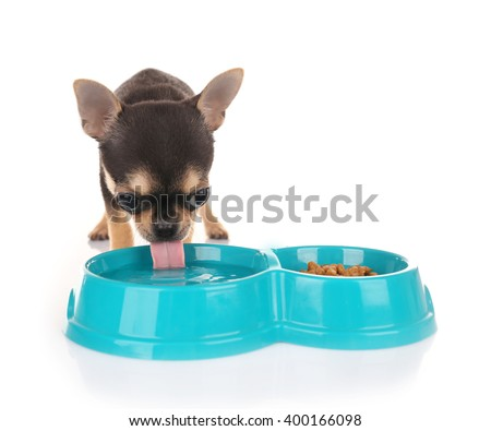 Small chihuahua puppy drinking water on the white background - stock photo