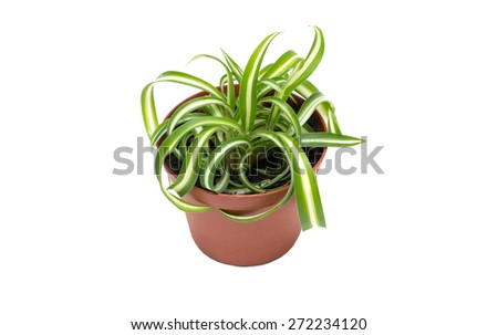 Small Chlorophytum in flowerpot isolated on white background - stock photo