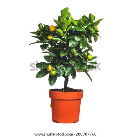 small citrus tree in the pot isolated on white  - stock photo