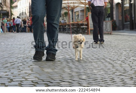 Small city dog, chihuahua, walking in a busy pedestrian city centre - stock photo