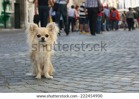 Small city dog on leash, chihuahua, sitting on pavement, people in background - stock photo