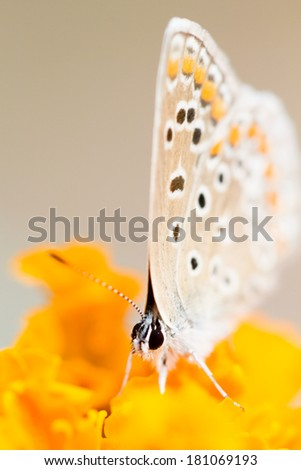Small, colorful, beautiful butterfly on an orange flower with natural background