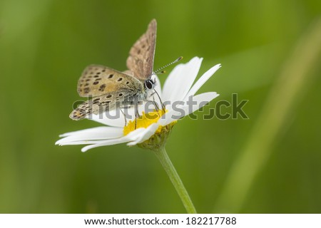 Small copper butterfly pollinating on a oxeye daisy in summer. - stock photo