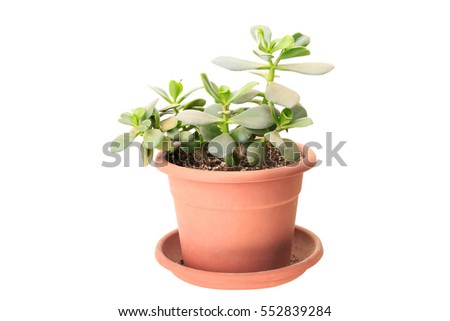 Small Crassula (money tree) isolated on white background