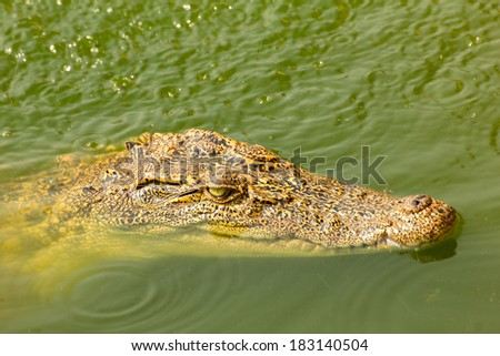 small crocodile swimming above water in the wild - stock photo