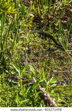 Small crocodiles / alligators hiding in the grass near Orlando, Florida. - stock photo