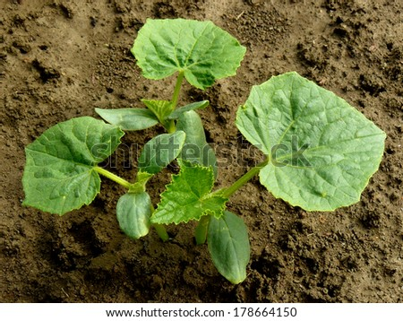 small cucumber plants growing on a bed - stock photo