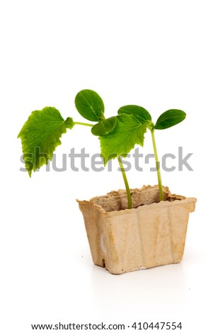 Small cucumber's seedling in cardboard box, isolated on white background - stock photo