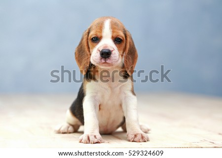 Small cute beagle puppy dog looking stock photo 529324609 small cute beagle puppy dog looking up voltagebd Image collections