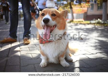 small cute dog for a walk redhead - stock photo