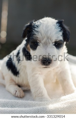 Small cute fox terrier puppy. - stock photo