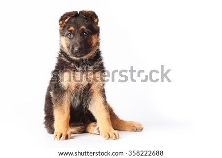 small cute german shephard puppy sitting on white background and looking straight into the camera. - stock photo