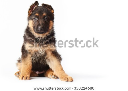 small cute german shepherd puppy sitting on white background and looking straight into the camera. - stock photo