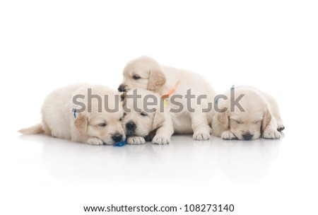 small cute golden retriever puppy,  on white background