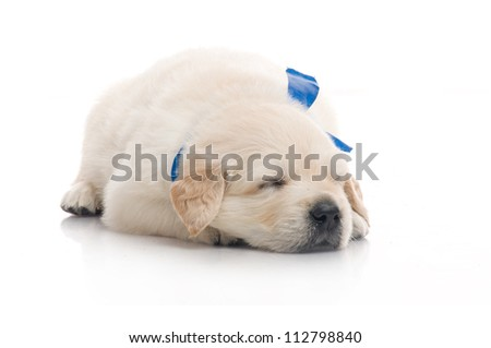 small cute golden retriever puppy sleep ,  on white background - stock photo