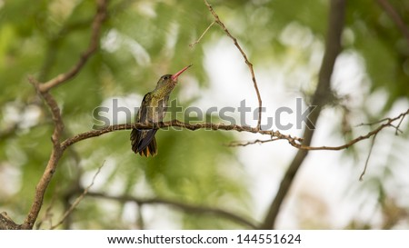 Small cute Hummingbird branching  with on a brown branch with cortex, blured natural background. Wild animal, bird. Wildlife. Flower. Green environment. Wings and peak detail, nobody. Male of female. - stock photo