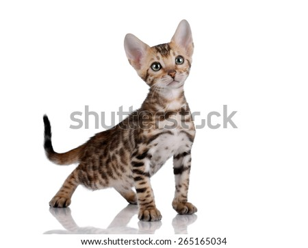 Small cute kitten standing on a white background and looking up - stock photo