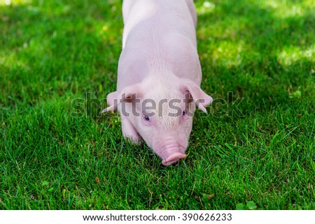 Small cute pig  walking on grass