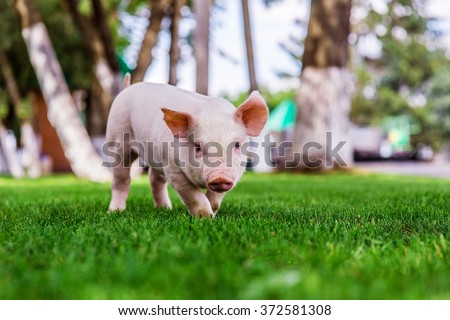 Small cute pigs walking on grass - stock photo