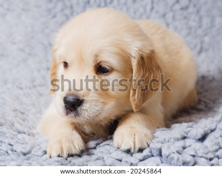 Small cute retriever puppy lying on sofa