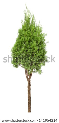 small cypress tree isolated on white
