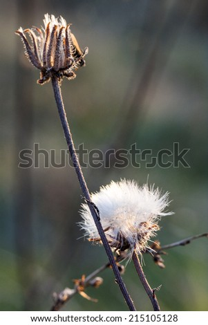 Small dandelions in the sunset light