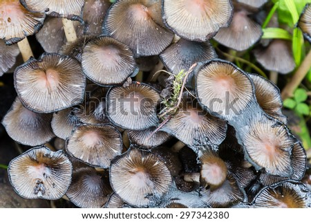 Small Dark Mushrooms Competing for Space on the Ground - stock photo