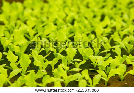 Small 10 days old lettuce plants growing in hydroponic culture with phenolic sponge - stock photo
