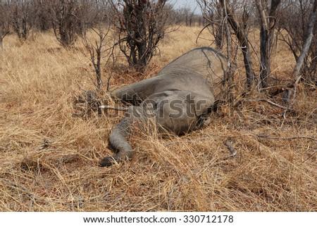 Small dead elephant in national park hwankee, Botswana, circle of life - stock photo