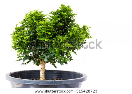 Small decorative tree, little Tree in the pots isolated on white background