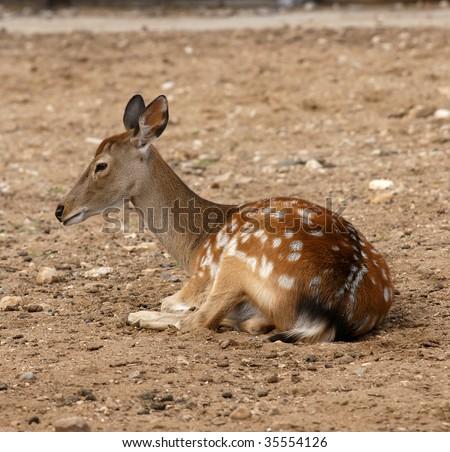 Small deer - stock photo