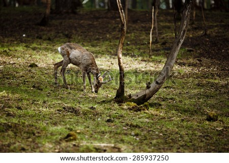 Small deer walking among the trees