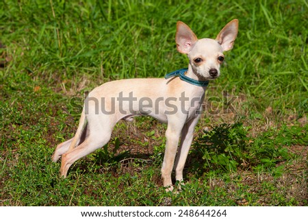 Small Delicate White Dog Standing in Park - stock photo