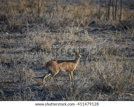 Small Dik-dik antelope pausing to look. Etosha national park, Namibia, Africa - stock photo