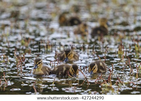 Small dining ducklings in water - stock photo