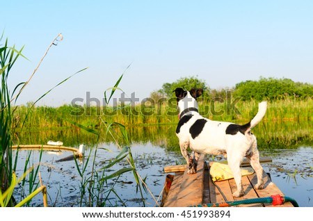 """Small dog breed the """"Jack Russell Terrier"""" standing on the dock and looking into the distance. - stock photo"""