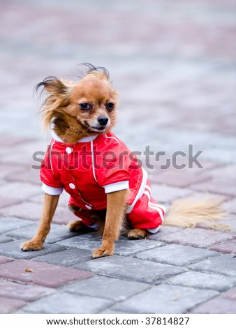 small dog in red jacket - stock photo