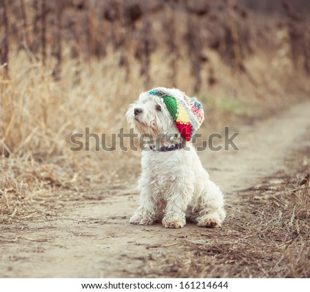 small dog in the hat walking in a field - stock photo